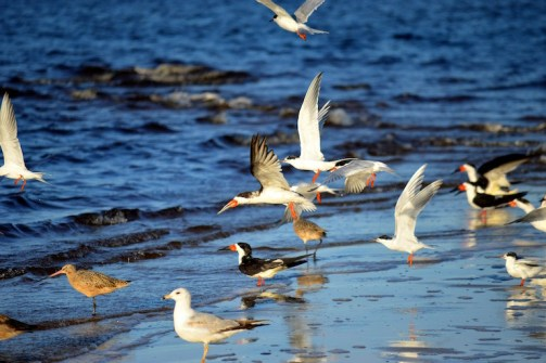 Skimmers, Gulls, Terns, Willets, Mashes Sand