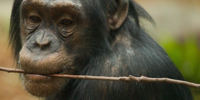 Chimpanzees dress to impress