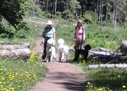 Poodles on a Get-Acquainted Hike