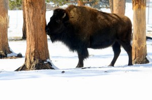 Bison - Courtesy of http://jendmccarty.blogspot.com/2011/03/bison.html