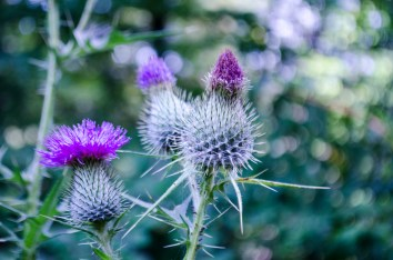 purplethistle
