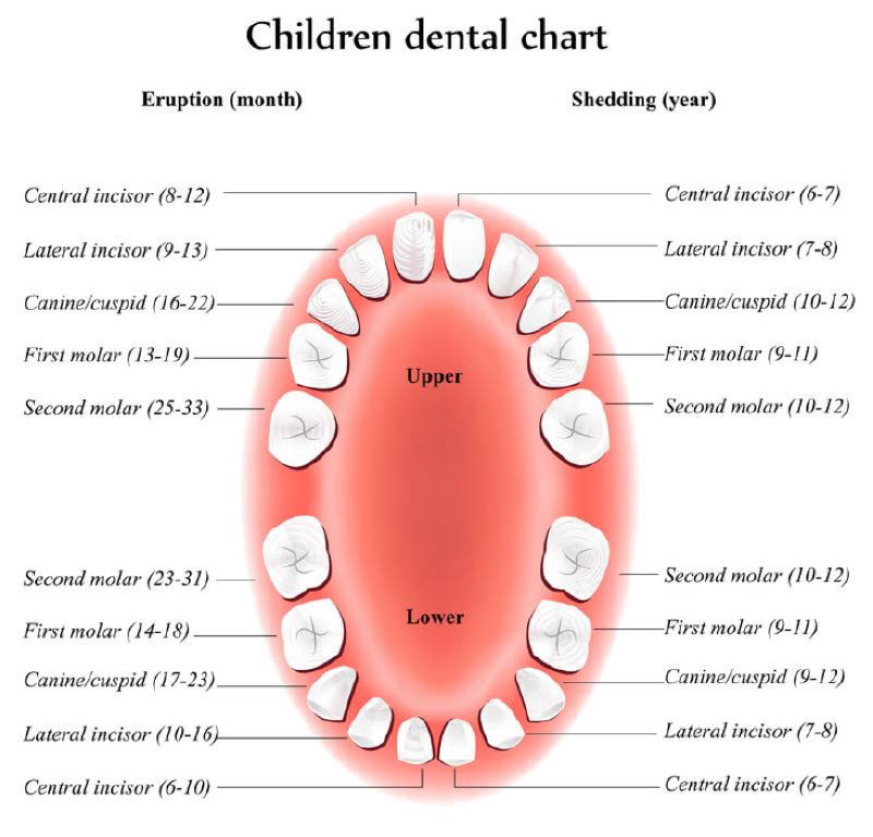 diagram of mouth with teeth numbers trailer brake light converter childrens-dental-chart-tooth-loss - willis family dentistry