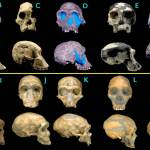 Transitional Hominid Fossils
