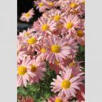 Chrysanthemum Dwarf Alice