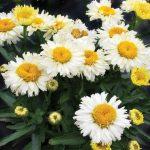 Leucanthemum Bridal Bouquet