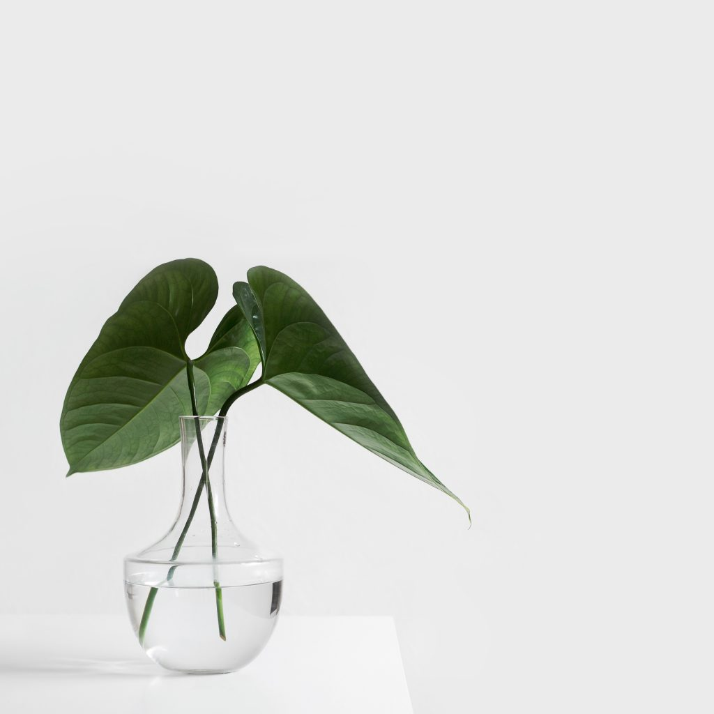 Fresh plant cutting rooting in clear vase of water for growth in the future.