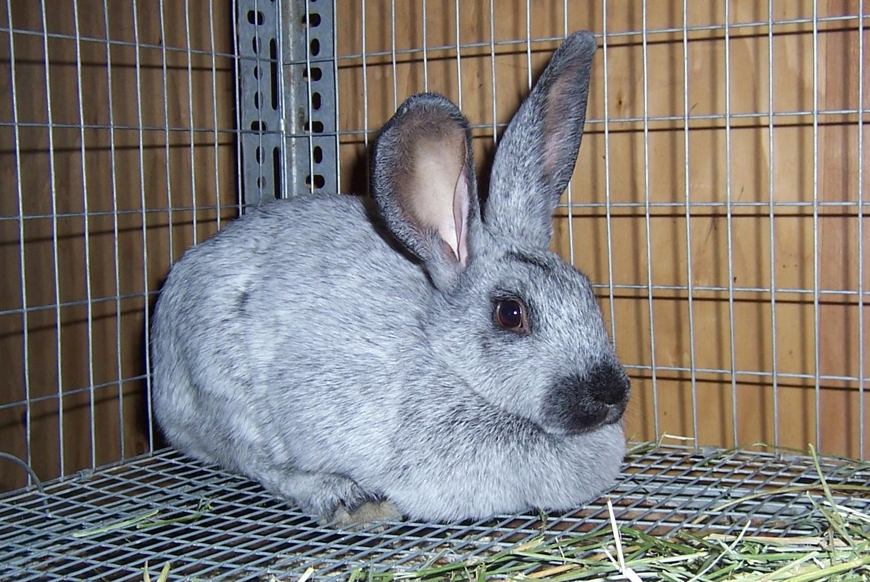 Managing Rabbits Buying And Breeding