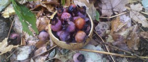 Persimmons in Dried Gourd Bowl