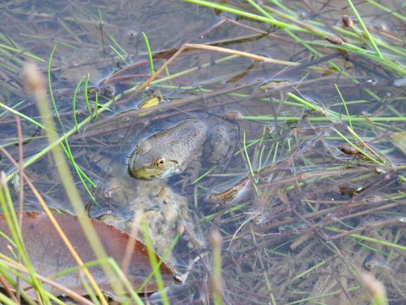 american-bullfrog-1