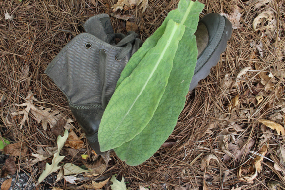 mullein-on-boots
