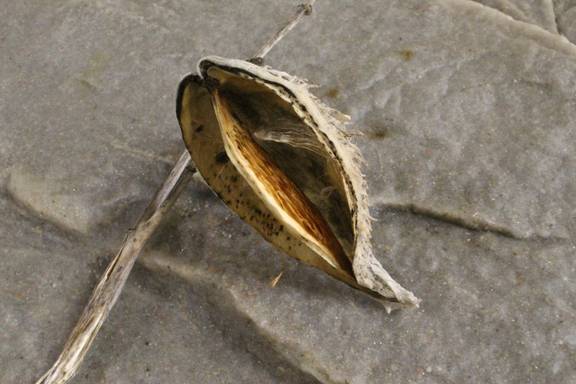 milkweed-ovum