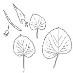 SURVIVAL TREES:  BASSWOOD – Amazing survival resources from the Basswood Tree