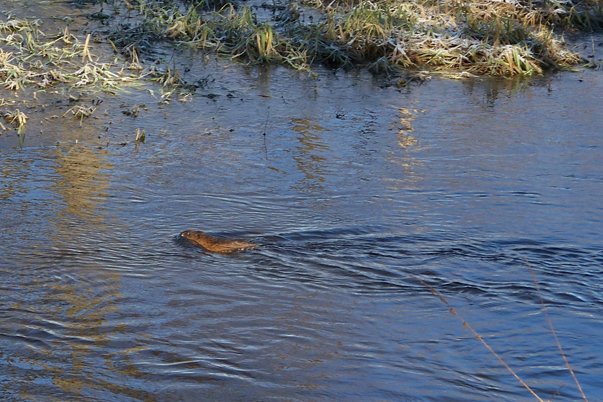 Beaver swimming behind Willow House, Fall 2008