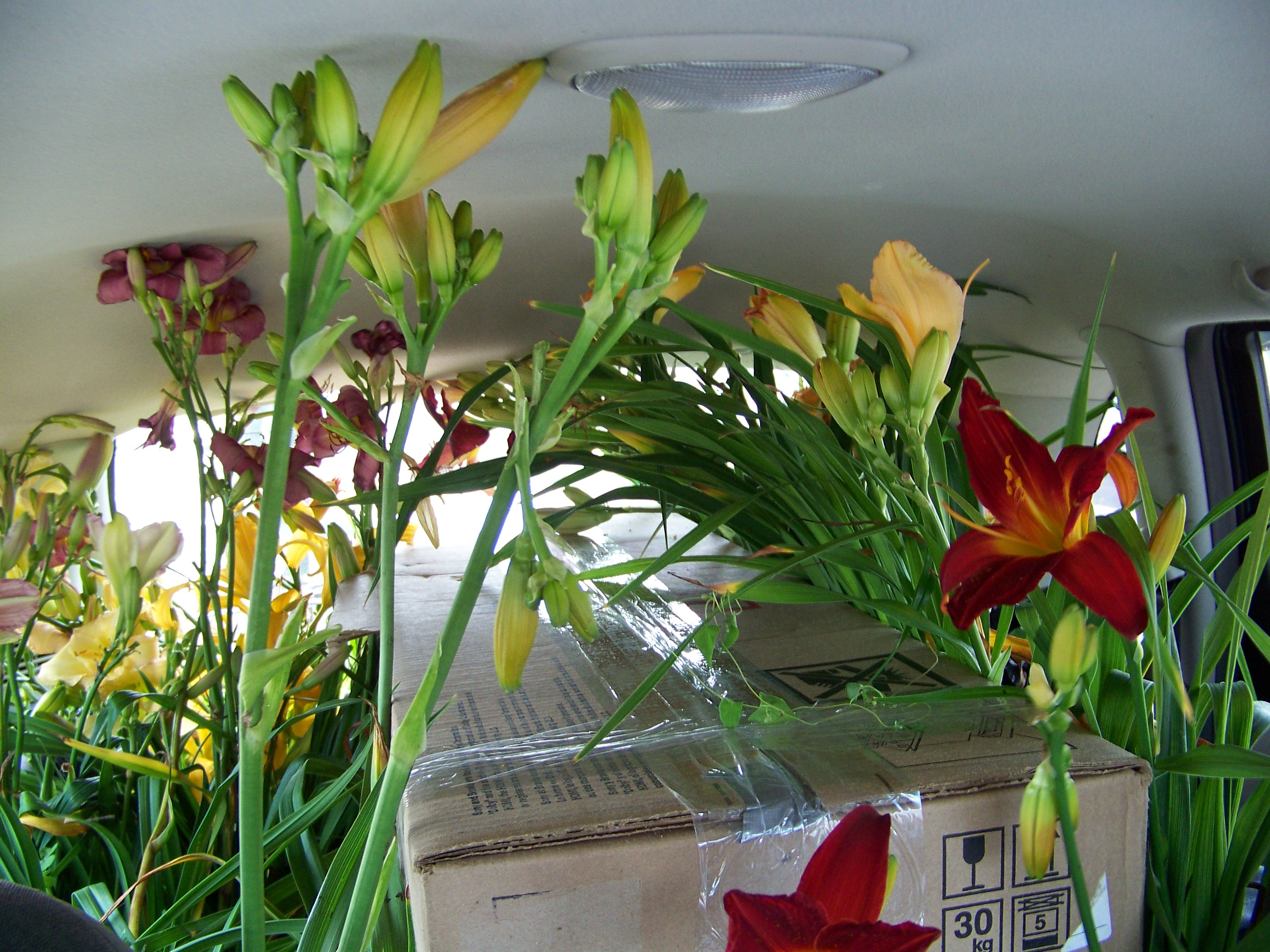 Daylilies on the move!  Moving plants from the GTA to Willow House.
