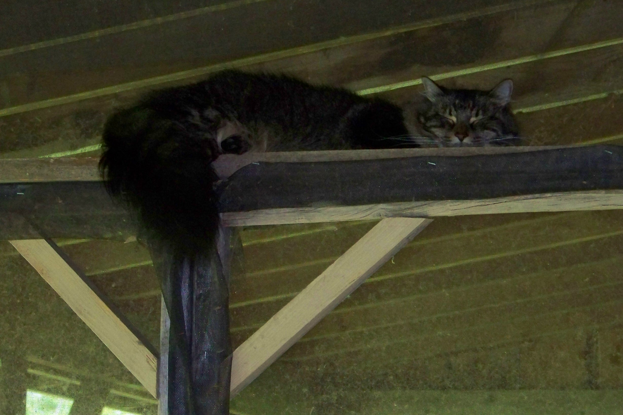 Mikey, snoozing on porch rafter.