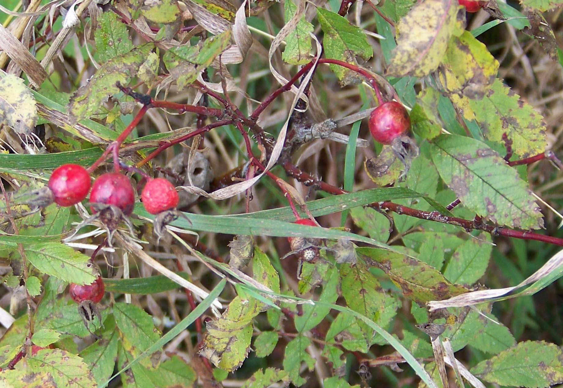 berries6