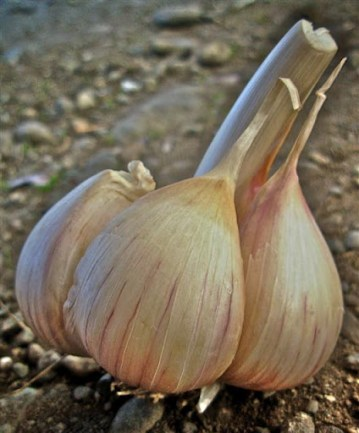 Porcelain type garlic