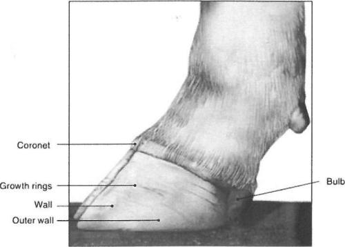 small resolution of a detailed look at the cattle hoofabaxial view of a normal hoof