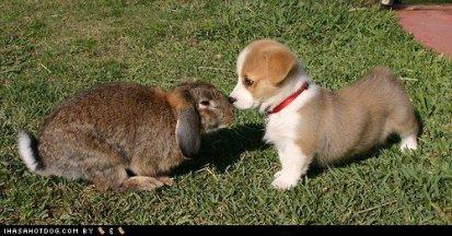 cute_corgi_puppy_and_bunny
