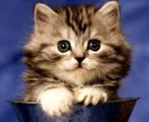 fluffy-kitten