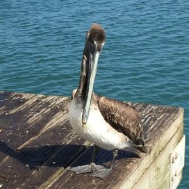 "Cute dinosaur birdie -anyone else remember the last couple of minutes from ""Jurassic Park"" when they see pelicans?"