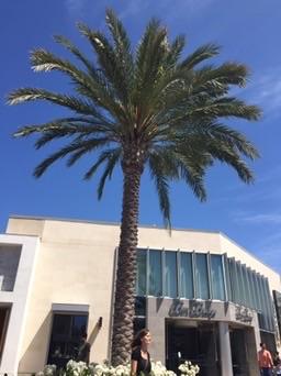 Palme in Westfield UTC Mall