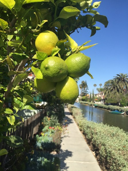 Zitronenbaum in einem Garten an den Historic Canals
