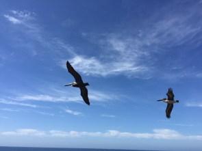 Pelikane im Vorbeischweben