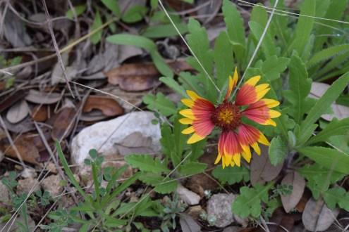 Blanketflower