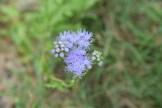 Gregg's Mistflower