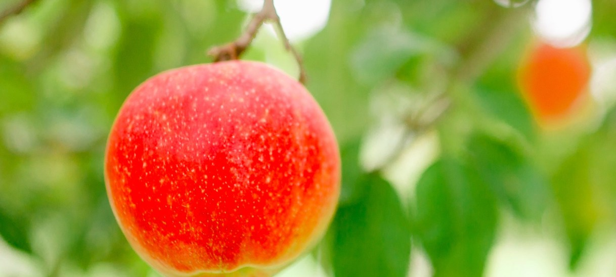 U-Pick Apples Available Now!