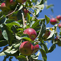 apples 8in_200