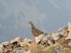 Grouse on summit of P2