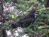 Spruse Grouse in a tree