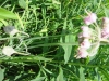 red-nodding-onion-with-un-opened