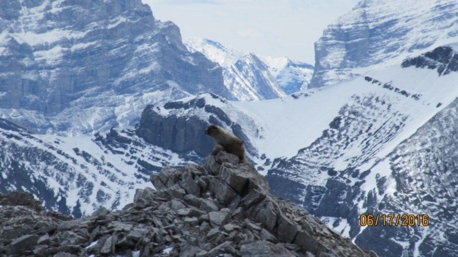 A Marmot shows off his climbing skills