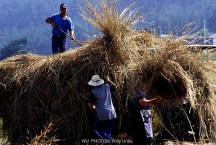 Época de siega en Costa da Morte. Galicia. WU PHOTO © Willy Uribe Archivo fotográfico Reportajes