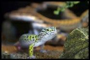 Leopard Gecko: Euplepharis macularius