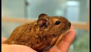 Gerbil Care | Wilmette Pet Center