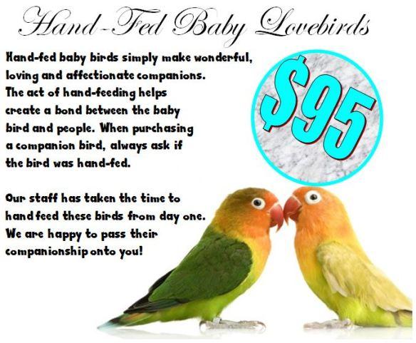 Hand fed lovebirds