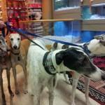 The greyhounds are coming, the greyhounds are coming!