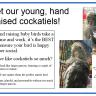 Sweet, adorable, hand raised cockatiels!