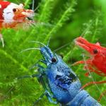 Fresh water shrimp and great new aquariums to house them.