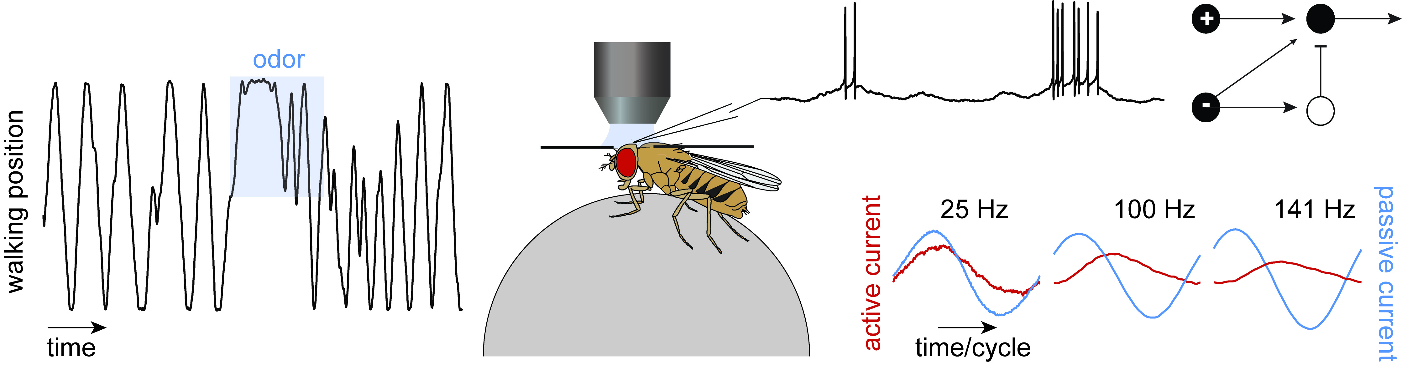 hight resolution of diagram of housefly
