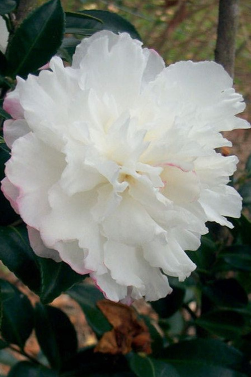 Snow On The Mountain Camellia : mountain, camellia, October, Magic, Camellia, SHIPPING, Online, Wilson, Gardens