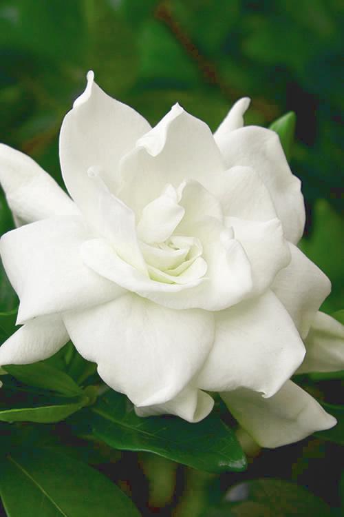 Gardenias Near Me : gardenias, August, Beauty, Gardenia, SHIPPING, Wilson, Gardens, Online