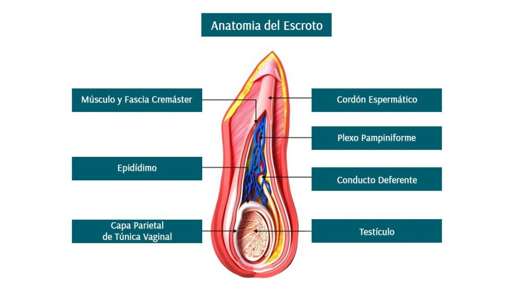 Anatomía del Escroto