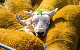 Why British Wool Makes Sense In British Carpet