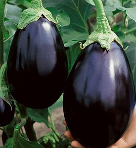Black Beauty Eggplant Plants from Wimbee Creek Farm
