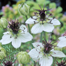 Nigella African Bride from Wimbee Creek Farm